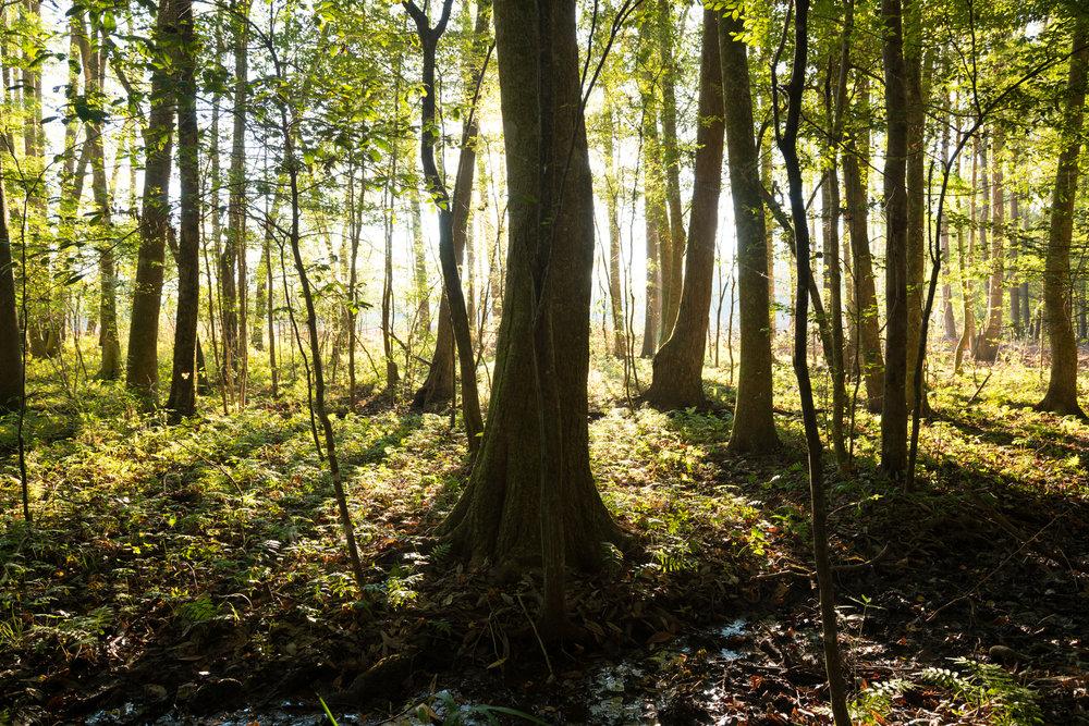 Early Forest Light.jpg