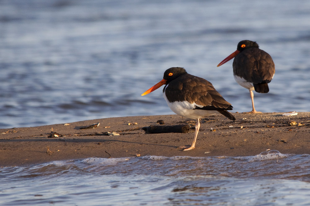 Oystercatchers.jpg