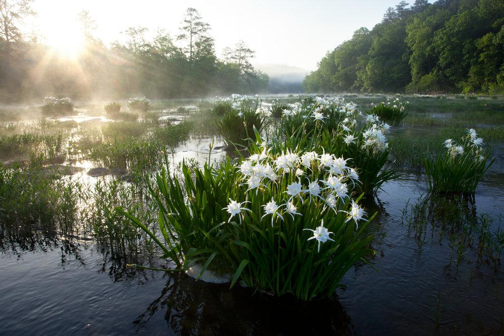 Cahaba Lilies.jpg