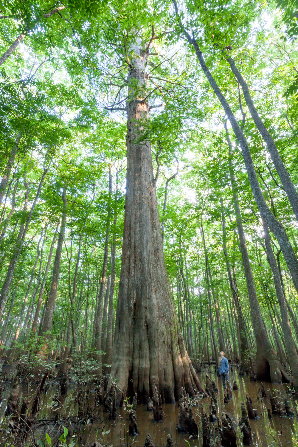 Old Bald Cypress.jpg