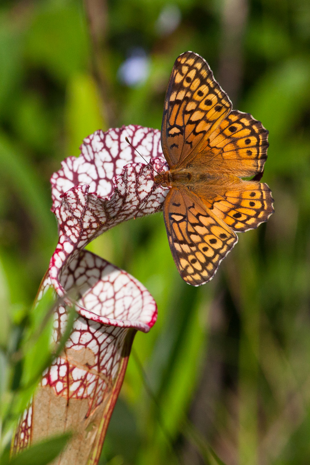 Pitcher plant & Butterfly.jpg