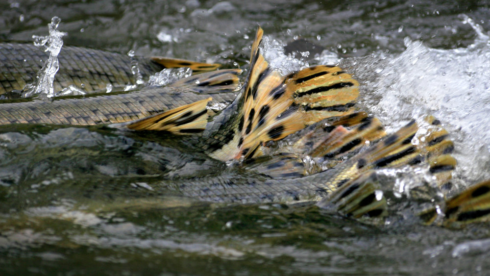 Longnose Gar Spawning.jpg