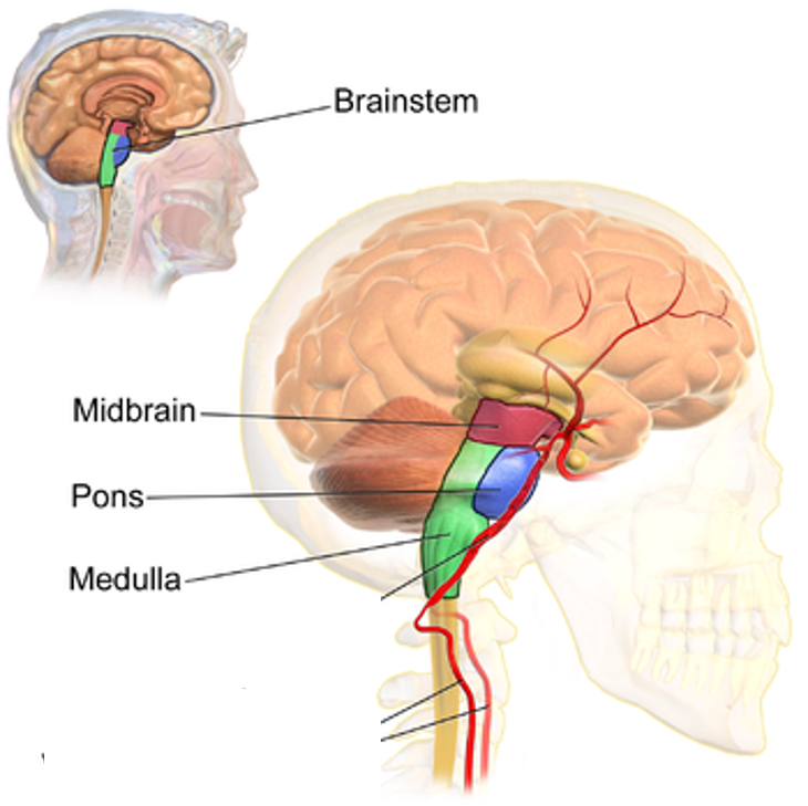Brain Stem (edited).png