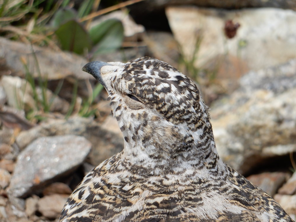 Ptarmigan are one of just three species of birds who can live year-round in the high alpine of the Pass