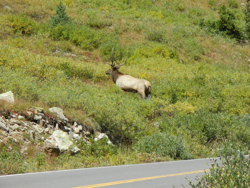 Elk, along with moose, deer, bighorn sheep, and mountain goats are year-round inhabitants of the Pass