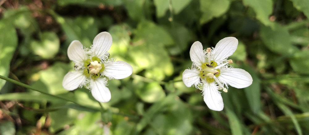 Fringed grass-of-parnassus (Parnassia fimbriata), August 2, 2018, Discovery Trail