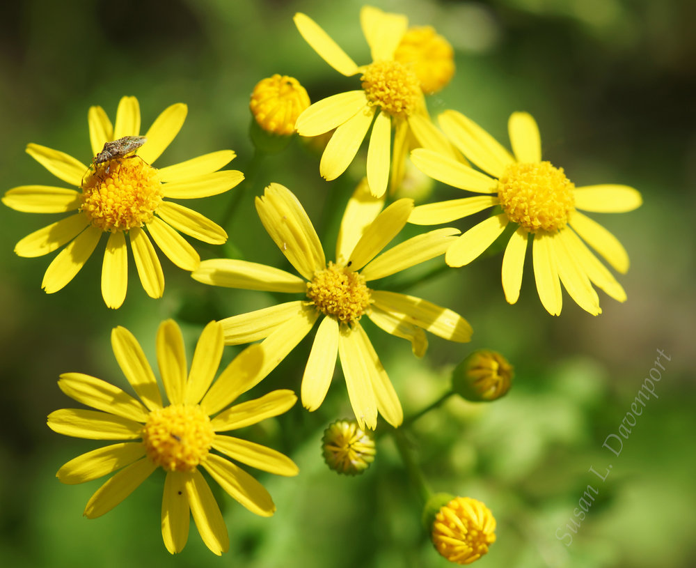 Yellow Flowers with Bug