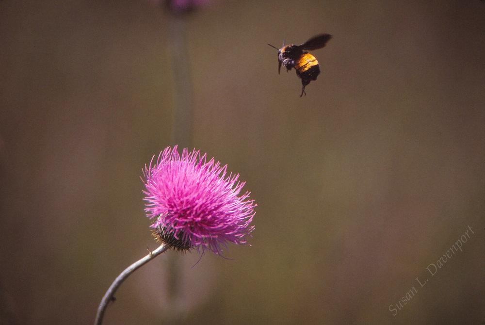 bee-thistle-sm-w.jpg