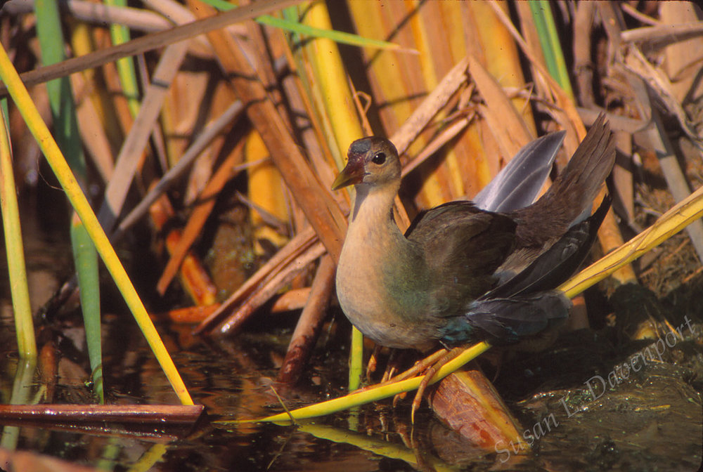A Young Gallinule  -  Photo by Susan L. Davenport