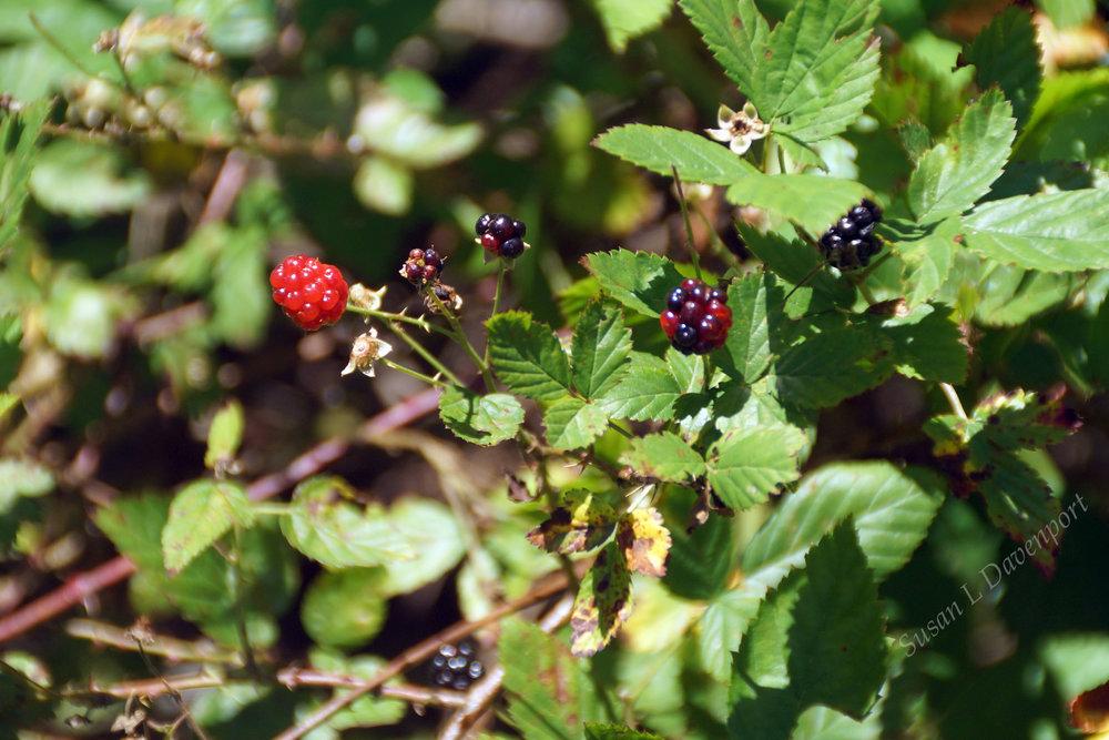 Dewberries - Photo by Susan L. Davenport