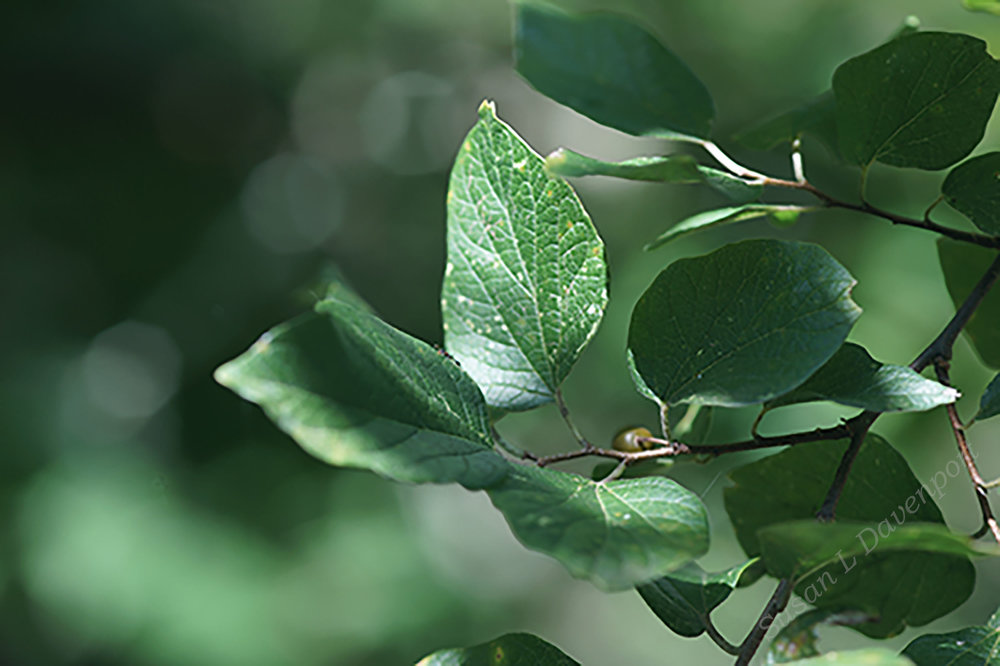 Sugarberry Leaves - Photo by Susan L. Davenport