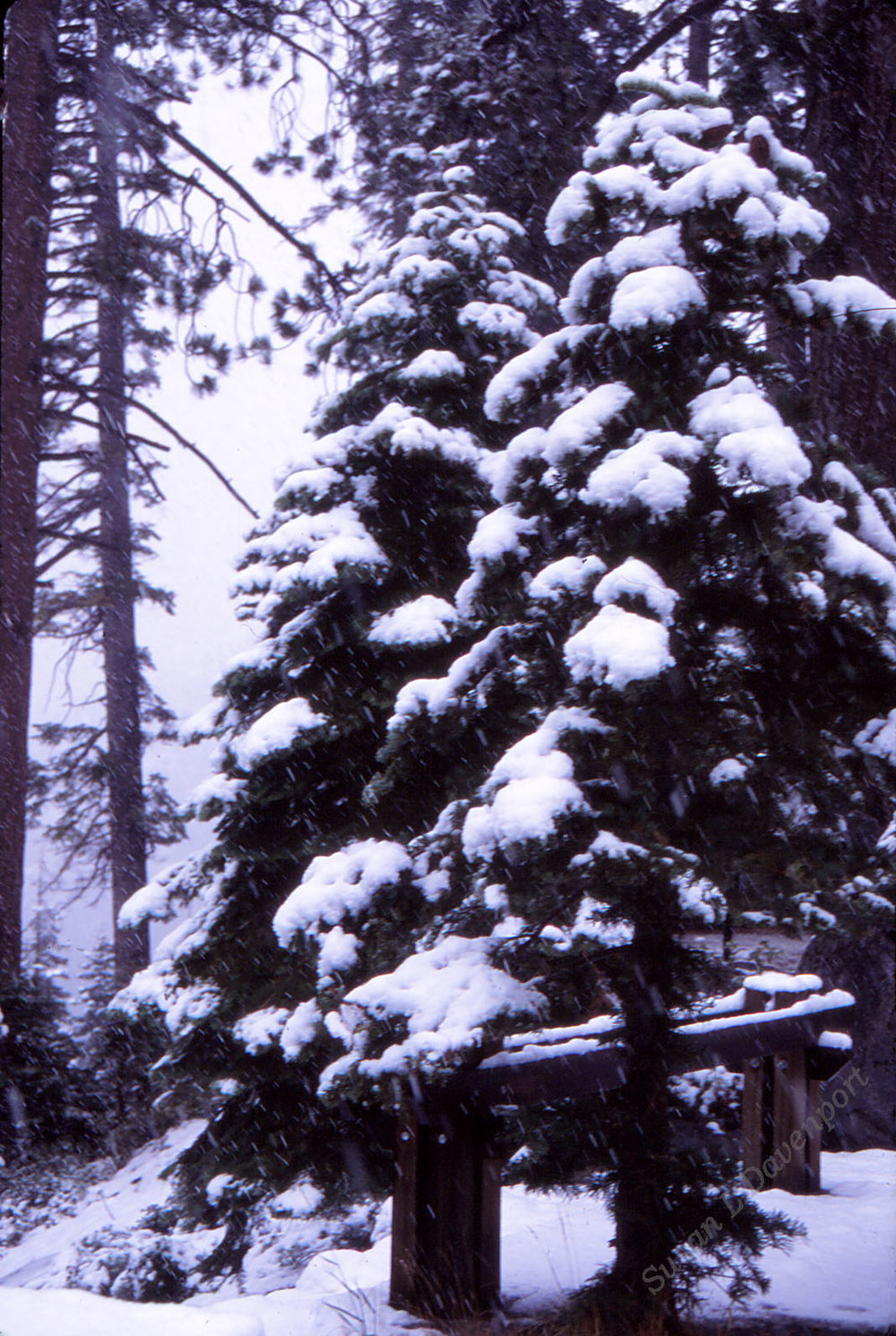 Tree-in-blizzard-sm-w.jpg