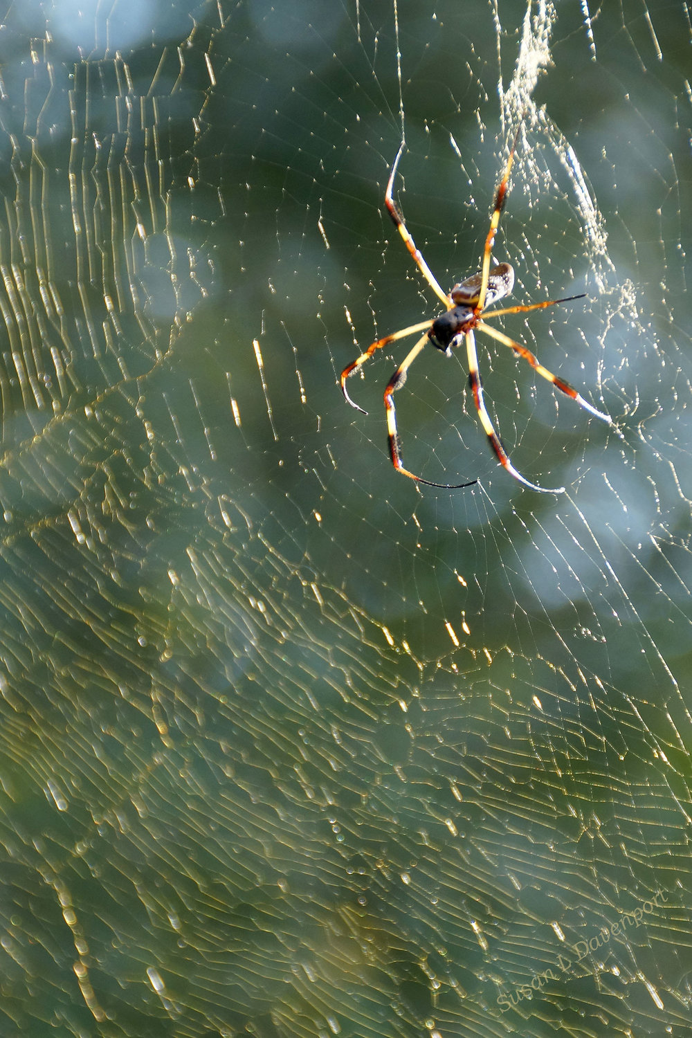 Golden Orb Spider: Moving to stay cool