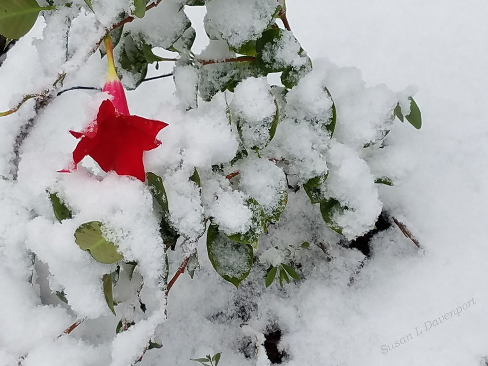 Red Trumpet in the Snow - Photo by Susan L. Davenport