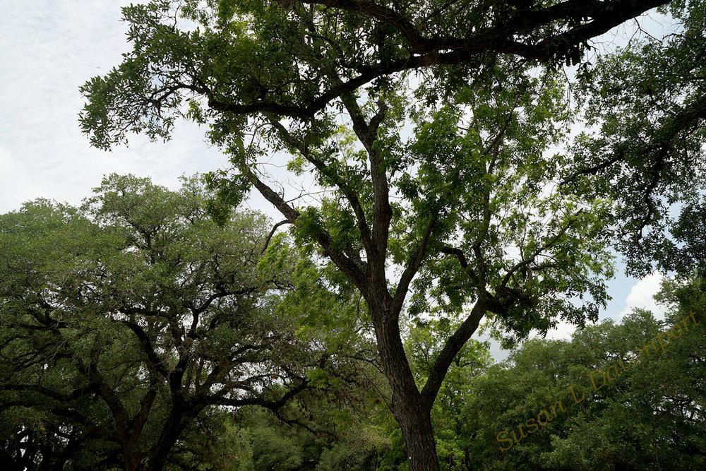 oak-trees-sm-w.jpg