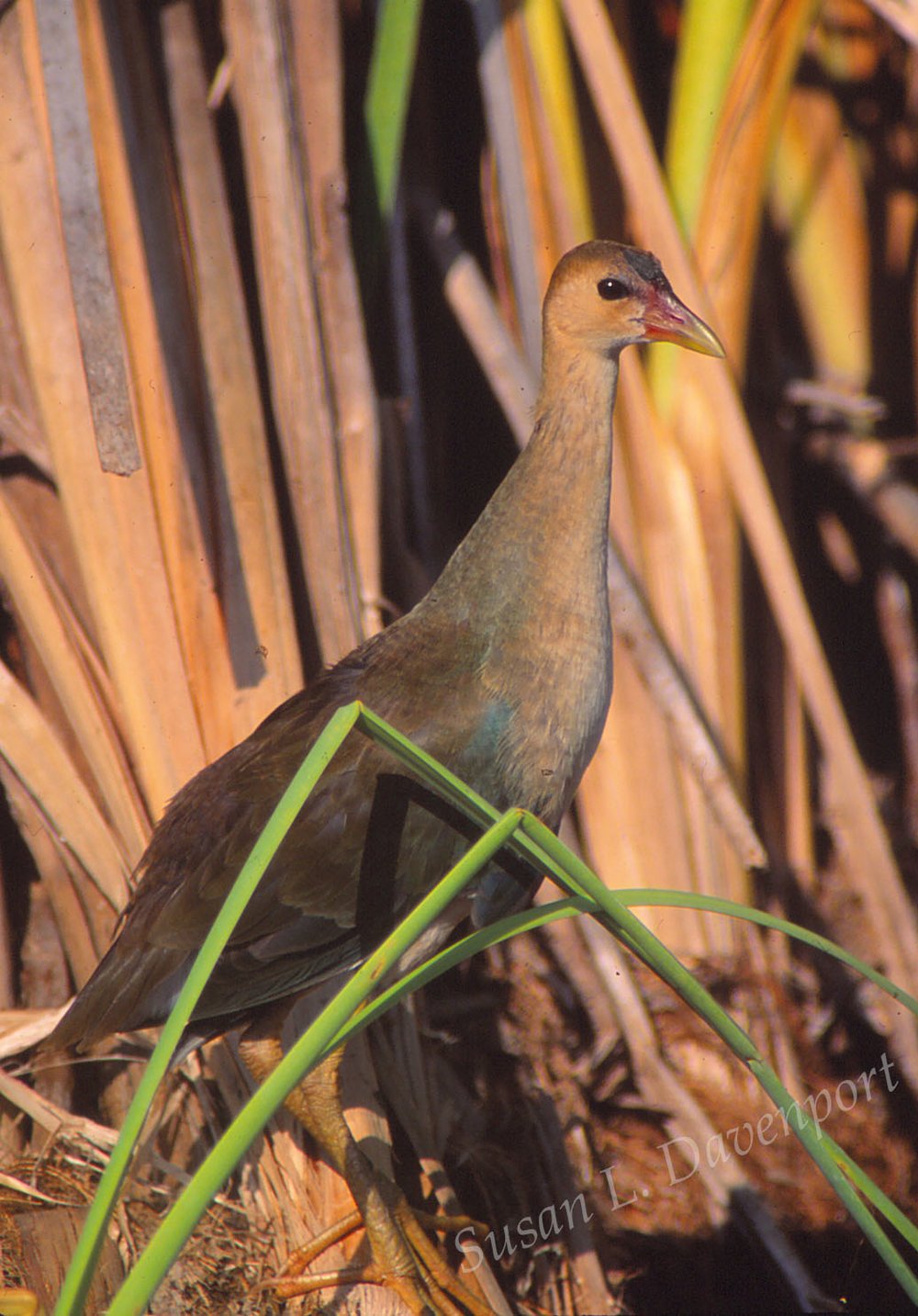Juvenile purple gallinule  -  photo by susan L. davenport