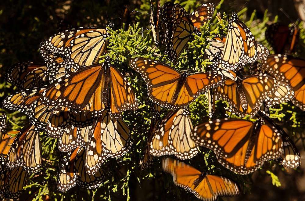 Beautiful Monarch Butterflies migrate to Natural Bridges State Park every year starting in October.