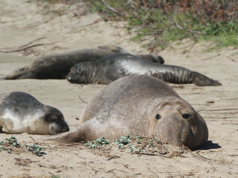 Elephant Seals lounging and doing what they do best at Ano Nuevo in Santa Cruz in the Wintertime.