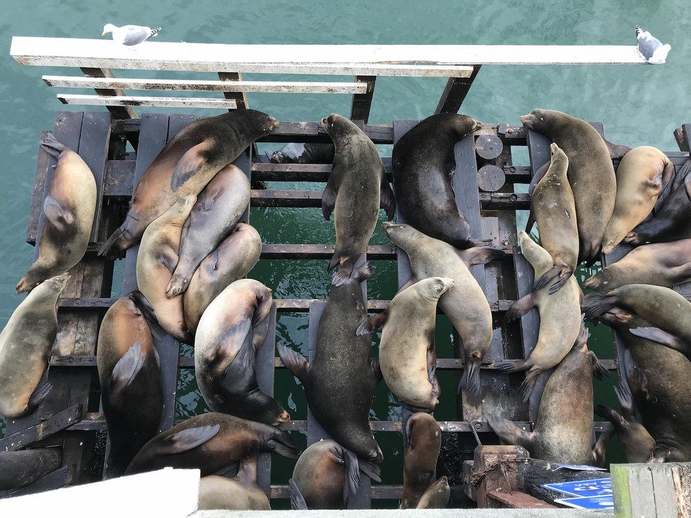 Sleeping Sea Lions at the Santa Cruz Wharf