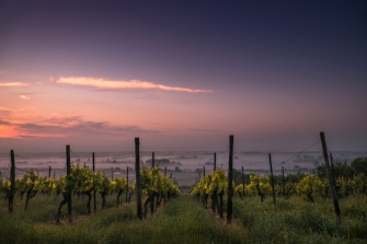 Vineyard in California at sunset with pink sky