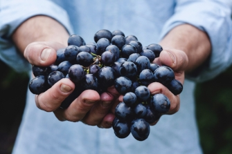 Man holding purple grapes blue grapes in his outstretched hands while wearing blue shirt ready to make wine