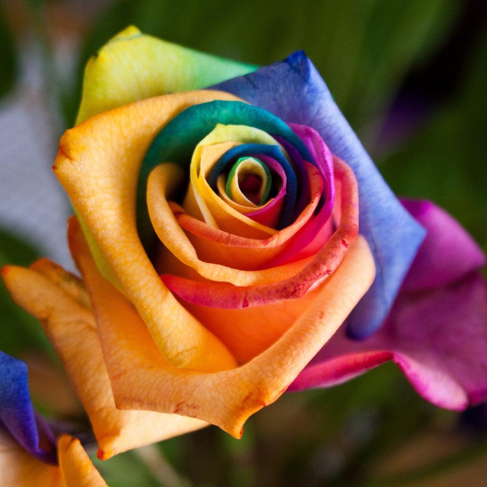 Rainbow Rose by Sam Judson on Flickr