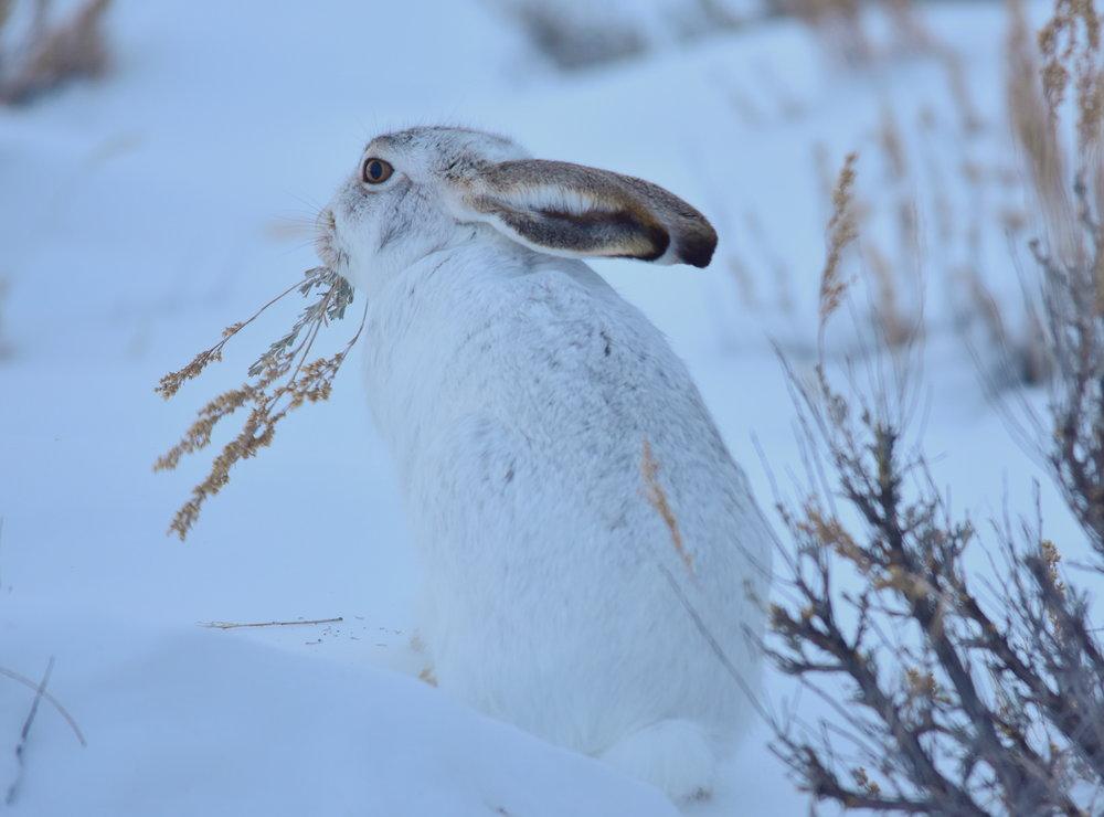 WY_white-tailed jackrabbit Seedskadee_Tom Koerner, USFWS.jpg