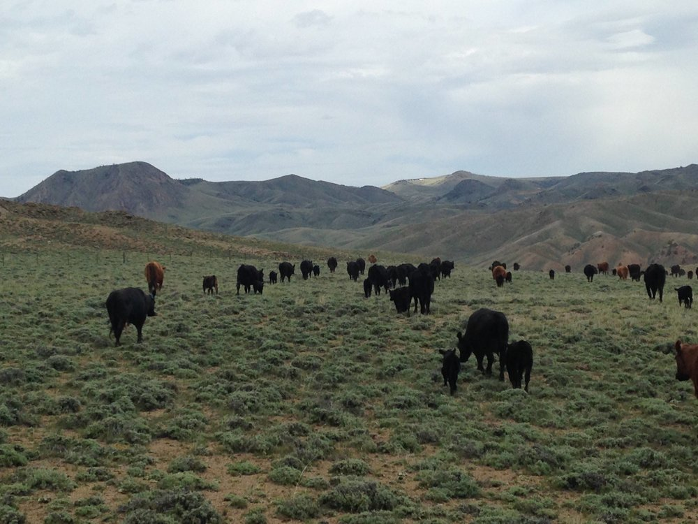 - These happy cows like their healthy rangelands! Photo by Steve Garland.