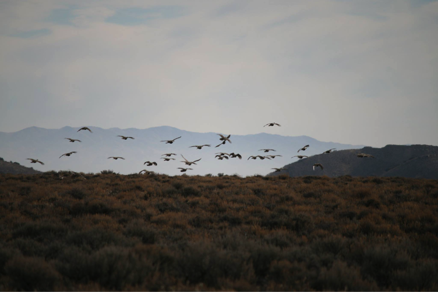 UT_Fall flock of sage-grouse in Dry Basin near a fuel break_Eric Thacker.png