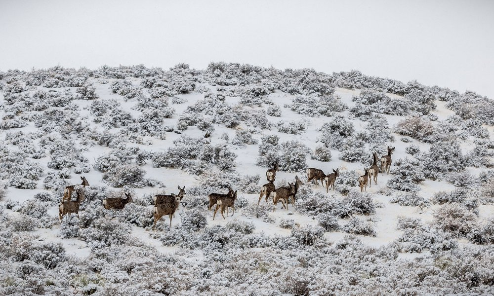 OR_Warner Mtns mule deer_BLM.jpg