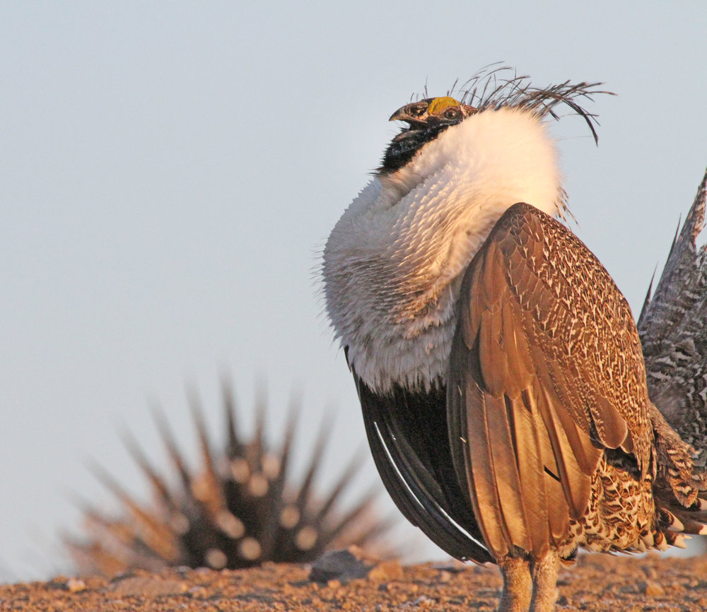 UT_Sage Grouse gulping air by Scott Root.jpg
