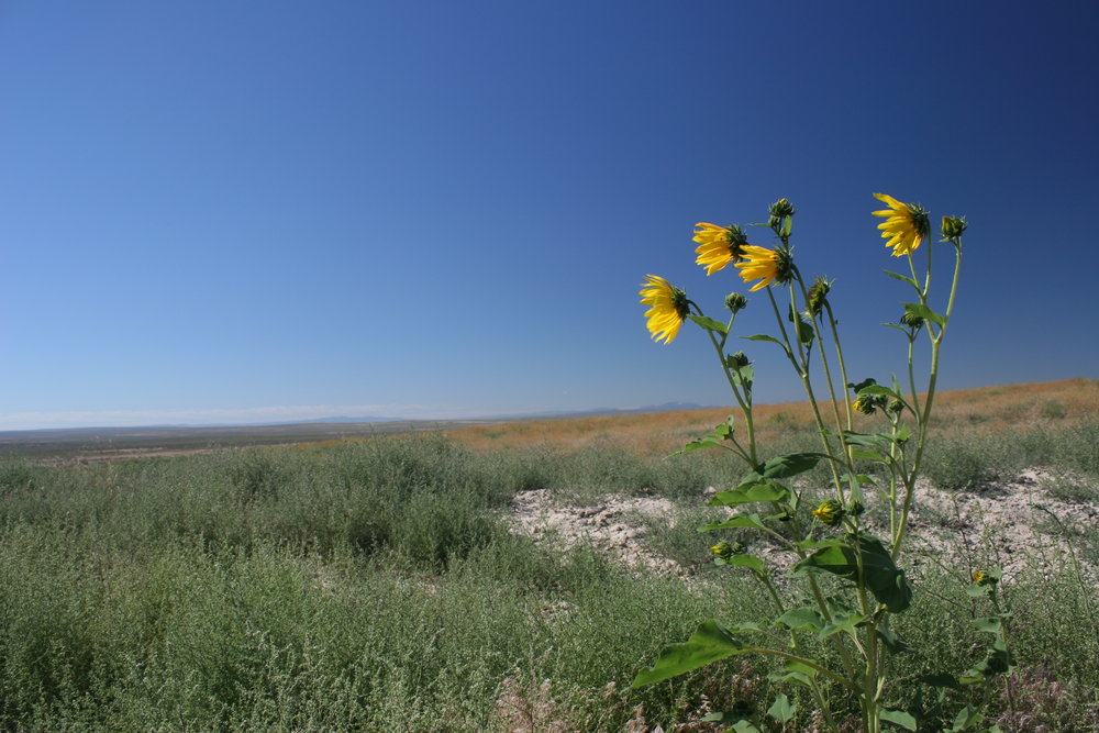 A single sunflower stock rises against a backdrop of Russian thistle, cheatgrass and other invasive species.