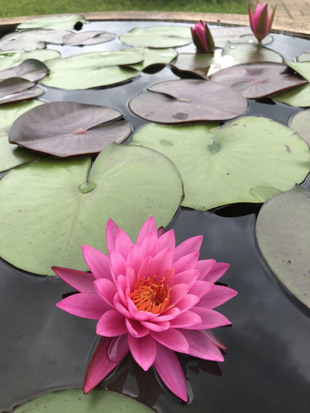 3 Lotus Pink.jpg