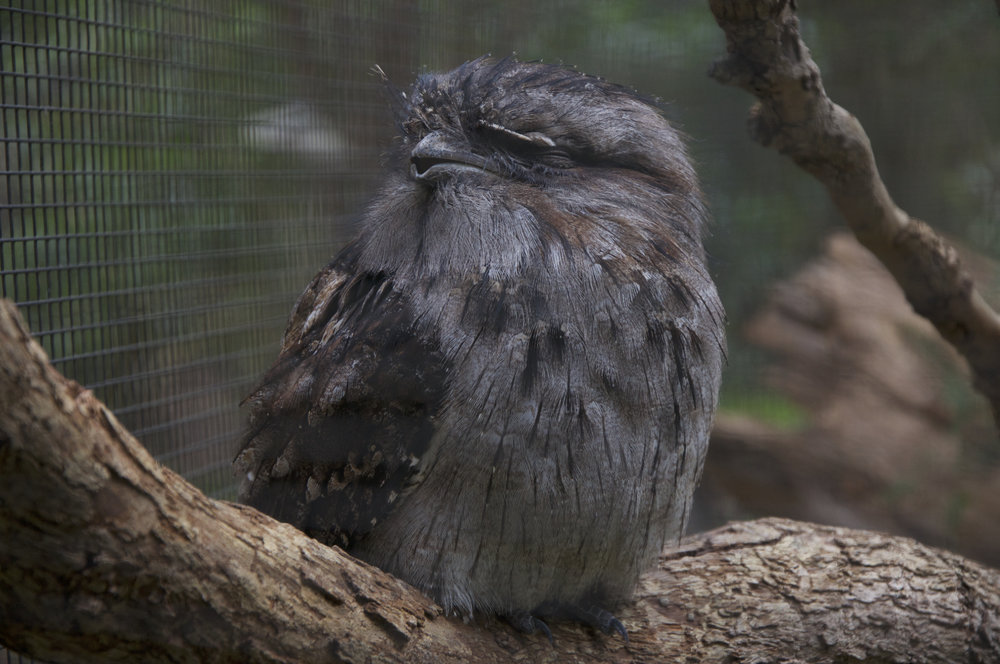 The Tawny Frogmouth. This is actually not an owl. It's a frogmouth! It has an ability to look like a branch to hide from predators.