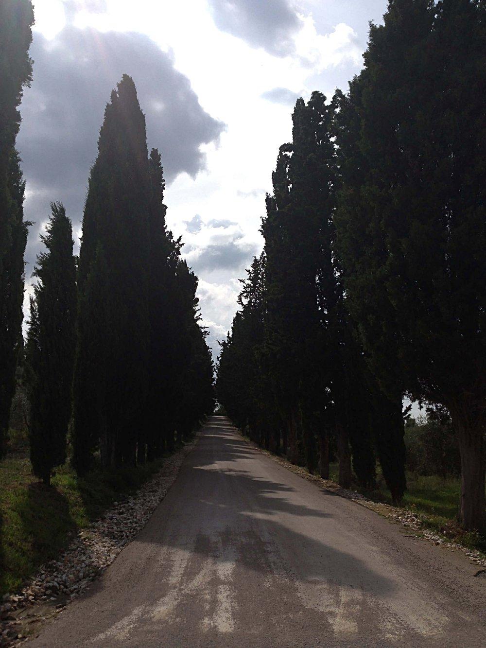 Cypress Tree Lined Driveway