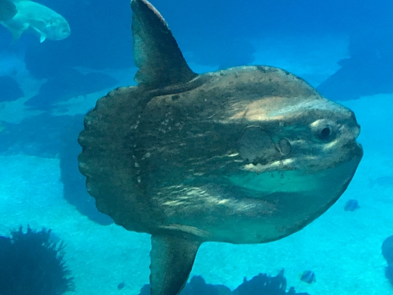 The resident giant sunfish