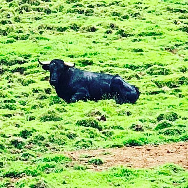 An Azorean Bull