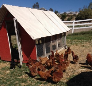Primal Pastures Chicken Processing Workshop | Vivacious Dish From Pasture to Plate