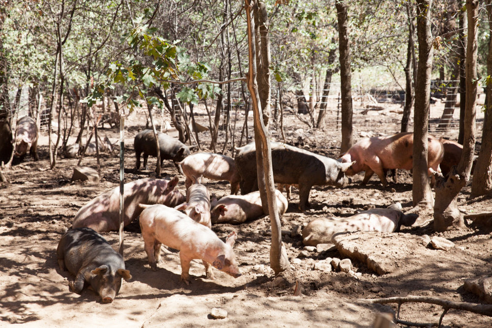 Cook Pigs Ranch