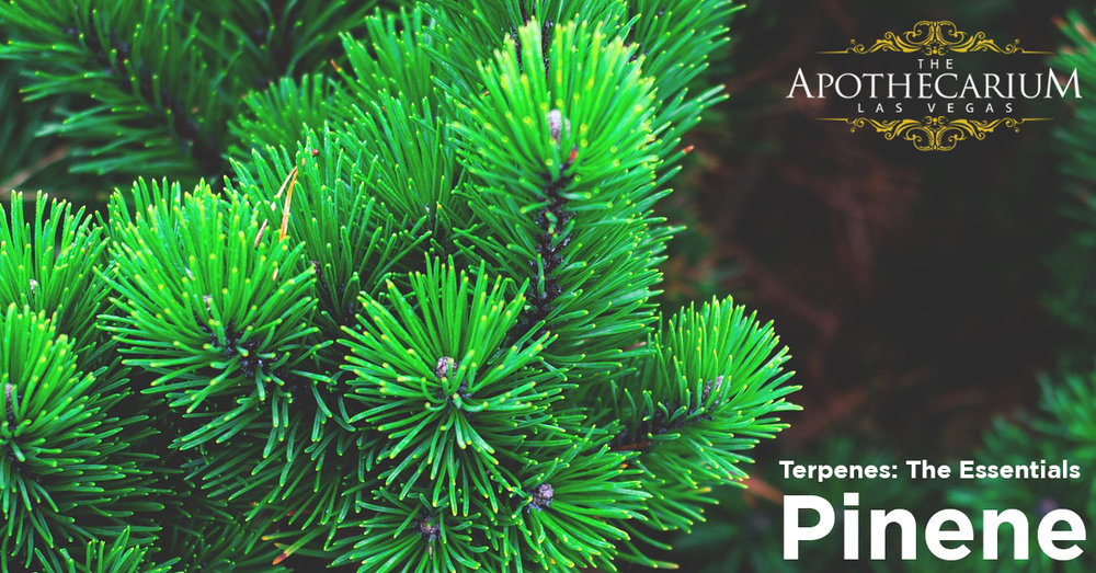 the apothecarium a medical and recreational cannabis dispensary discuss the basics of the terpene pinene