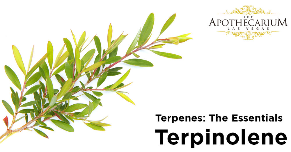 the apothecarium las vegas a recreational and medical marijuana dispensary discuss terpinolene, a terpene found in cannabis