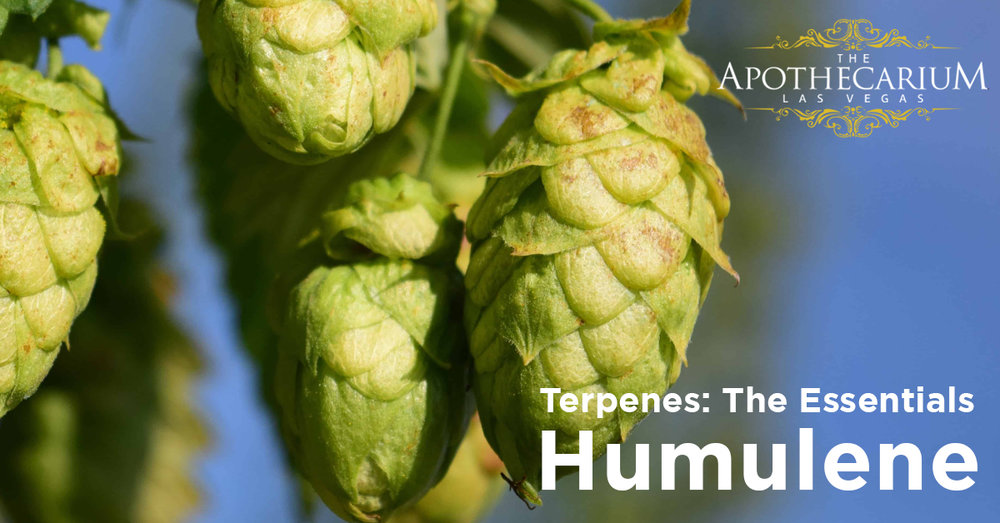 the apothecarium las vegas a legal nevada dispensary discusses humulene a terpene often found in cannabis