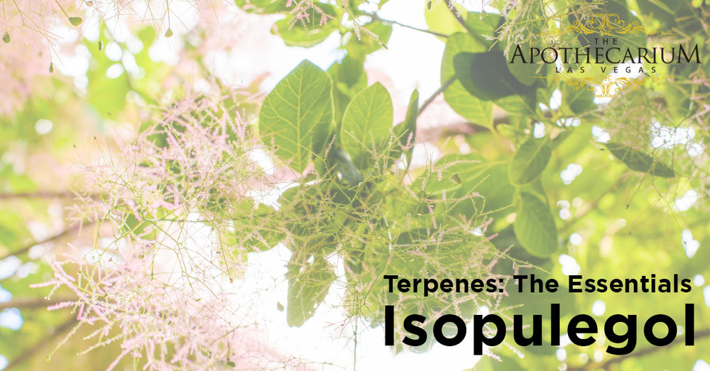 the apothecarium las vegas a legal cannabis dispensary discusses i sopulegol a terpene often found in cannabis
