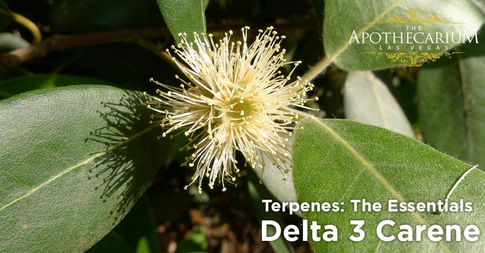 the apothecarium las vegas a legal cannabis dispensary discusses delta 3 carene a marijuana terpene