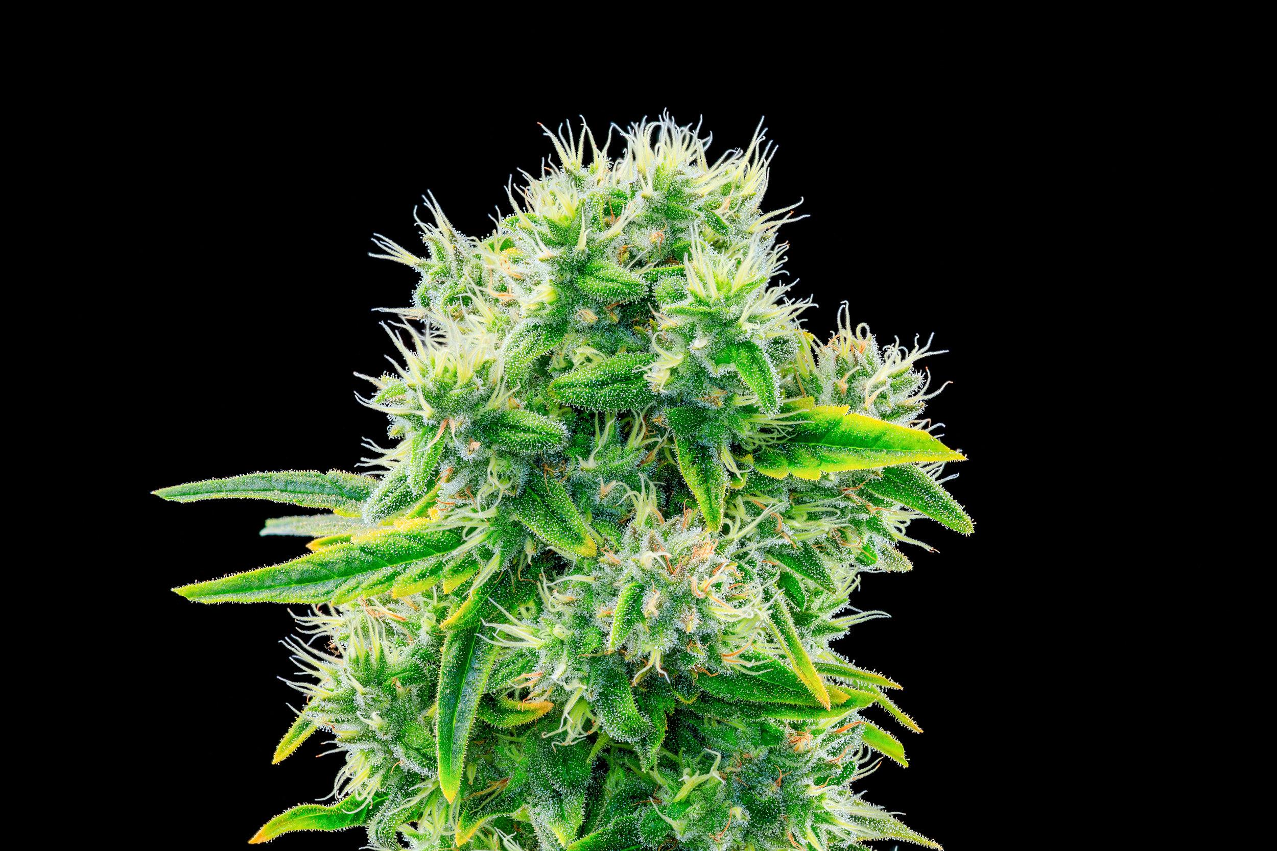 Cannabinoids 101: CBC — The Apothecarium