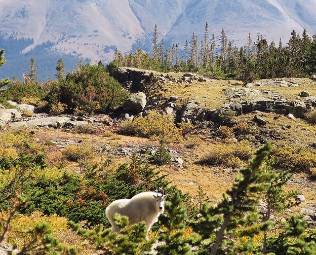 Mountain goats are pretty magical ✨