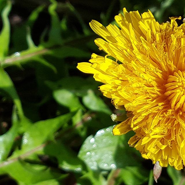 "Dandelion in full glory, I love this dependable plant. I try and get some of this nutritional and medicinal friend into me everyday. We put the roots, leaves and flowers into our fresh plant infused organic apple cider vinegar mineral tonic. We created this tonic to reintroduce the traditionally used and accessible ""weeds"" that are full of minerals and support our everyday health in so many ways.  Dandelion flowers are always a bitter sweet treat along my way and feel good for the heart. #plantmedicine #waihekeisland #dandelion #herbalmedicine #applecidervinegar"