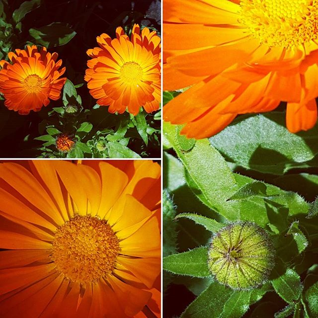 Calendula, such a gift in the garden during this early spring. Reminding us the sun is on it's way. My garden feels incomplete without this beautiful plant. We make both an infused oil and tincture with the petals. The oil we use externally in our calendula, plantain and hypericum salve. The tincture goes into our tonsillitis remedy and antiseptic lotion. It's my go to flower to brighten up salads and sandwiches, fritata's and omelets. This plant offers healing and sunshine combined. #calendula #waihekeisland #medicinalplants #tonsillitis #plantmedicine #antiseptic #herbalremedies