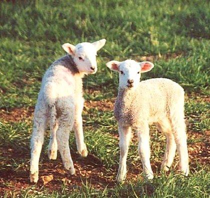 photo_lambs.jpg