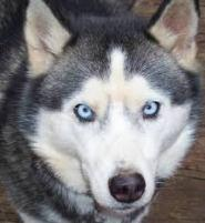 Not our dog Hobo, but a Husky